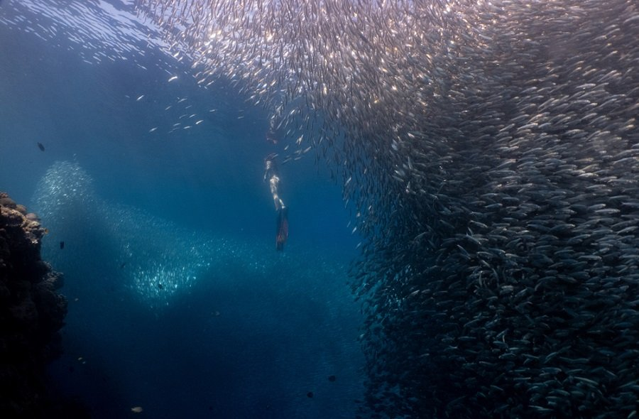 girl swimming with millions of sardines in moalboal