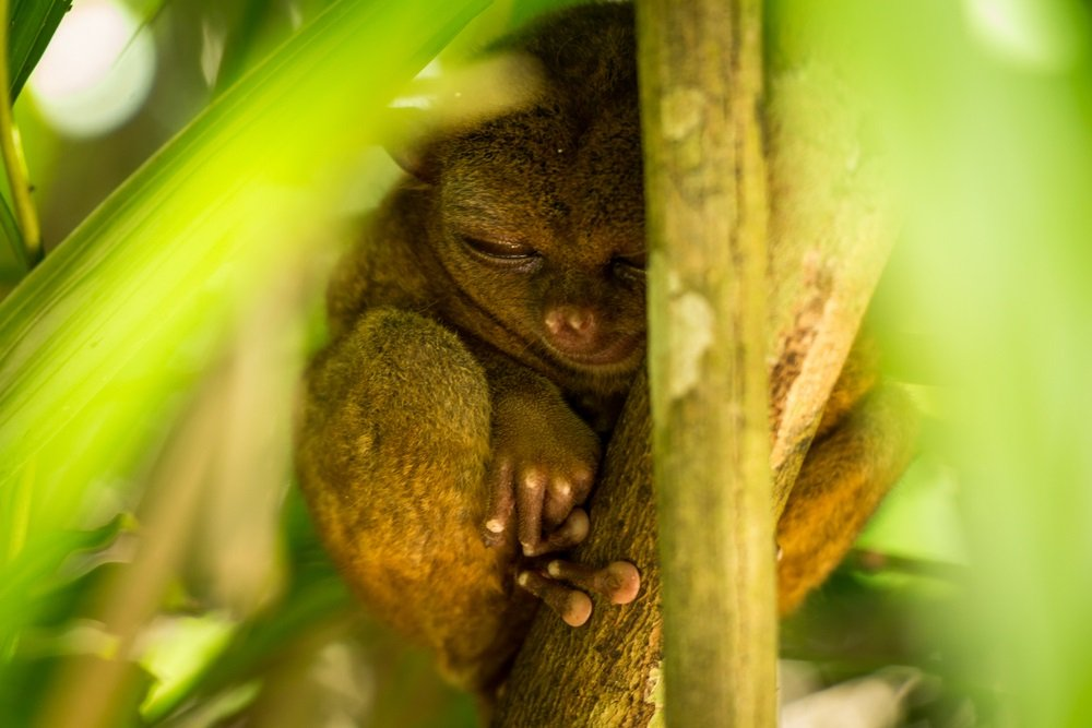 a photo of a sleeping tarsier